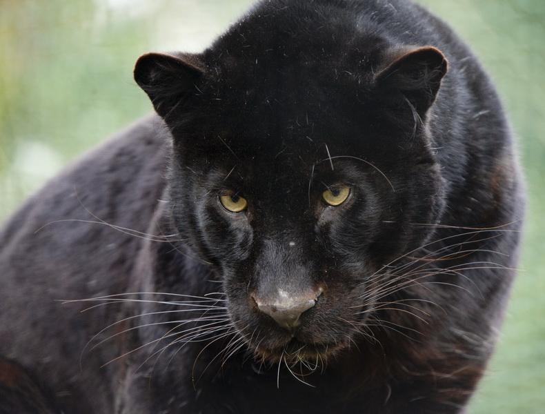 Animals Avatars Black Panther Picgifs Com