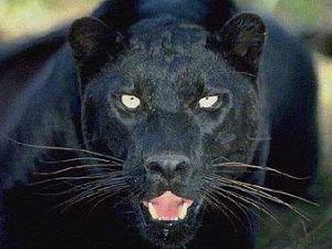 Black panther avatars
