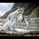 Cheetah avatars