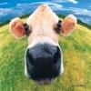 Cow avatars