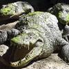 Crocodile avatars