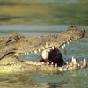 Crocodile Animals Avatars