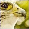 Eagle avatars