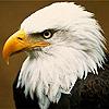 Animals Eagle Avatars
