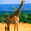 Giraffe avatars