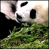 Animals Avatars Panda