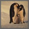 Penguin avatars