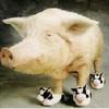 Pigs avatars