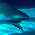 Sharks avatars