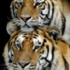 Tiger avatars
