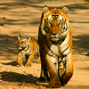 Tiger avatars