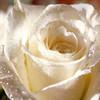 Roses avatars