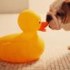 Rubber duck avatars