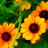 Sunflower avatars