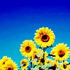 http://www.picgifs.com/avatars/avatars/sunflower/avatars-sunflower-689600.png
