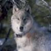 Wolves avatars