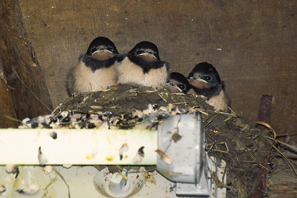 Barn swallow bird graphics