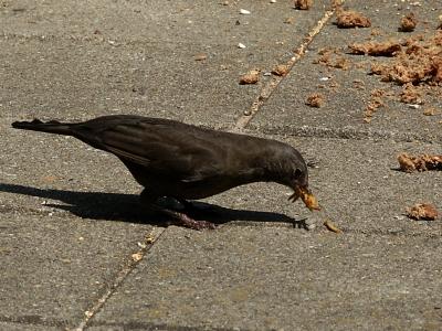 Blackbird bird graphics