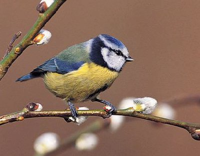 Bird graphics Blue tit