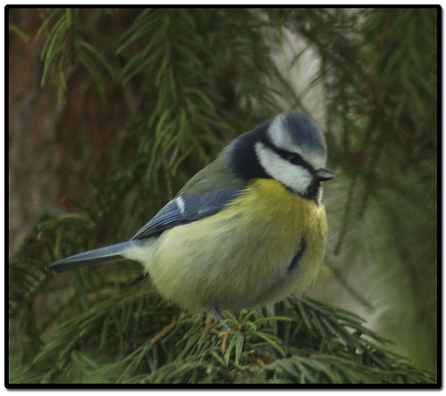 Bird graphics Blue tit