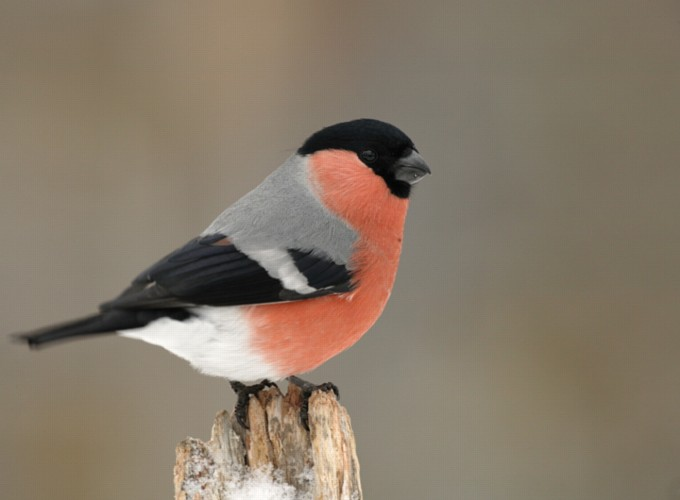 Bullfinch bird graphics