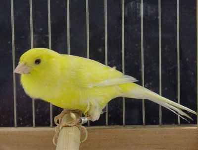 Canary bird graphics