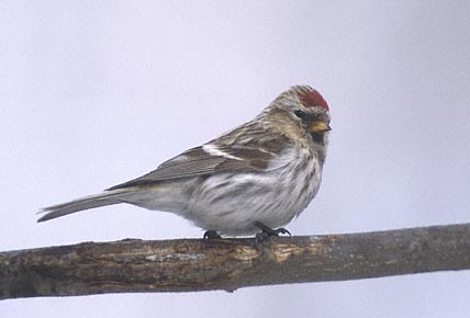 Bird graphics Common redpoll