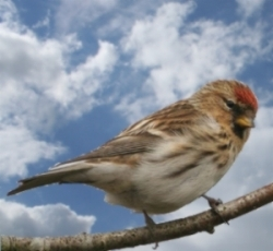 Common redpoll bird graphics