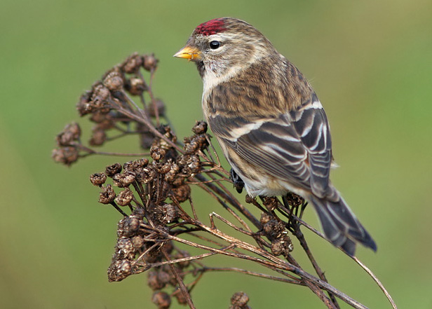 Common redpoll bird graphics