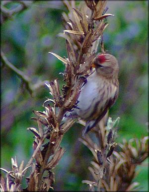 Bird graphics Common redpoll