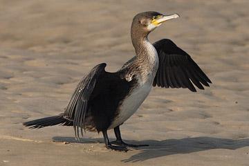 Bird graphics Cormorant