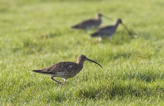 Curlew bird graphics