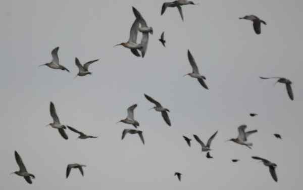 Curlew bird graphics