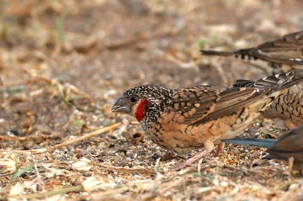 Cut throat finch bird graphics