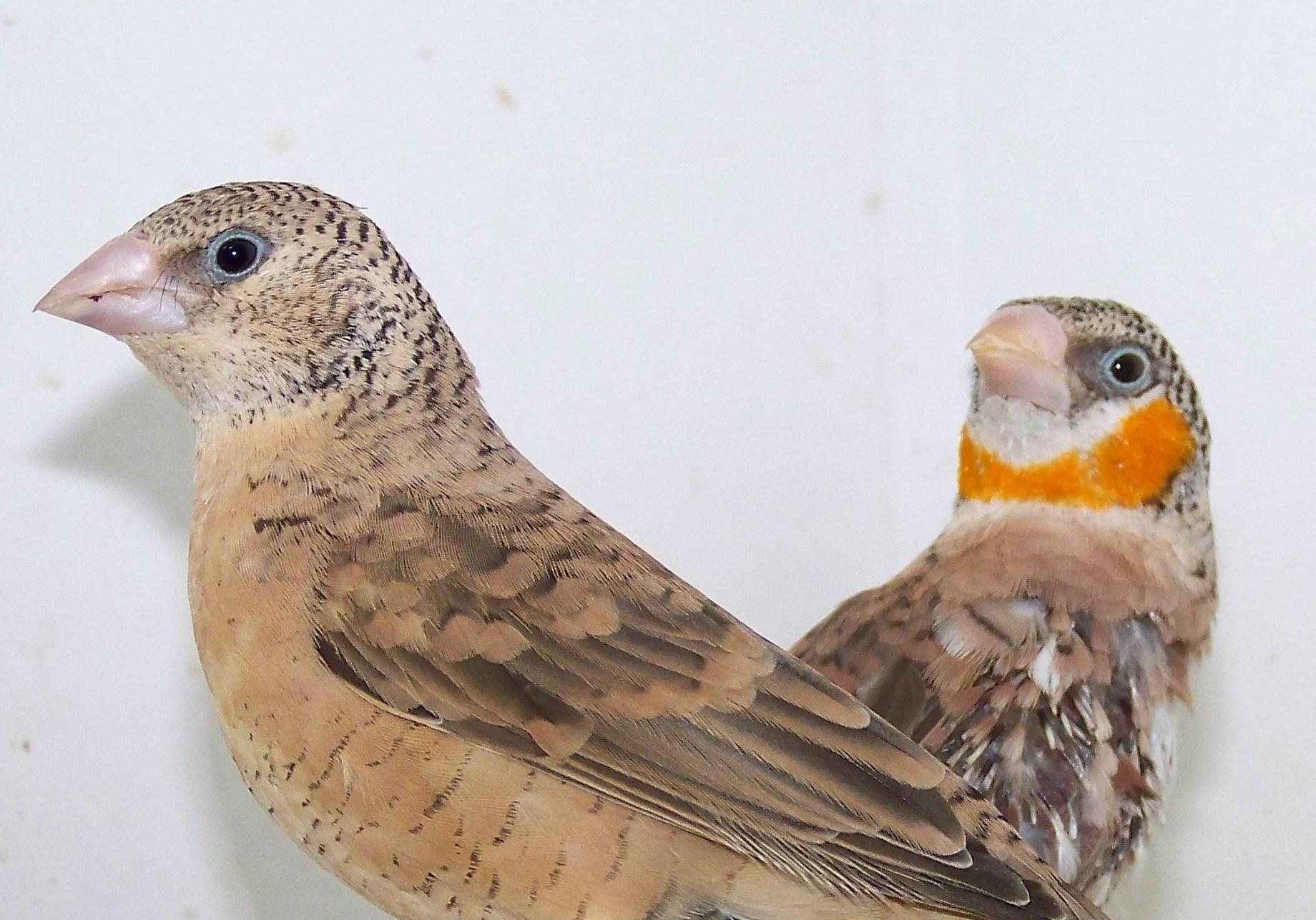 Bird graphics Cut throat finch