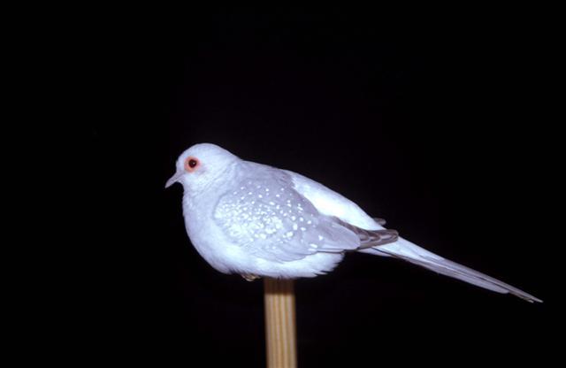Diamond dove bird graphics