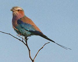 Dollarbird bird graphics