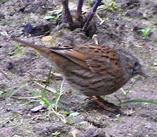 Dunnock bird graphics