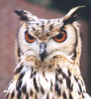 Bird graphics Elf owl