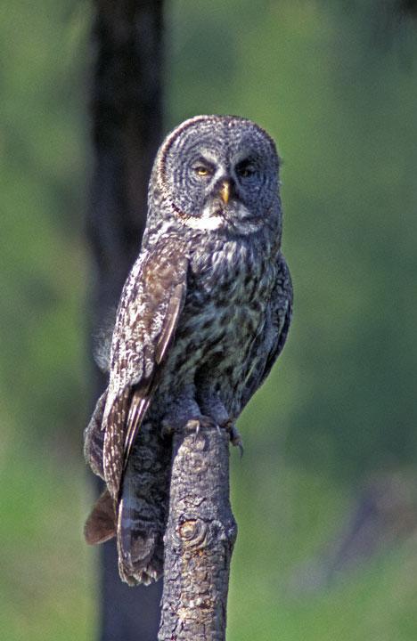 Elf owl bird graphics
