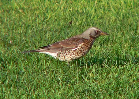 Fieldfare bird graphics