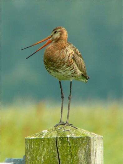 Godwit bird graphics