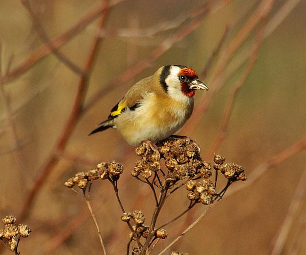 Goldfinch bird graphics