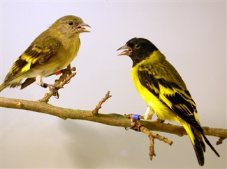 Hooded siskin bird graphics