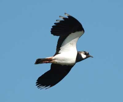 Lapwing bird graphics