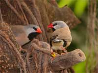 Bird graphics Long tailed finch
