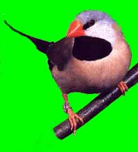 Long tailed finch bird graphics