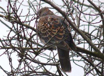Bird graphics Oriental turtle dove