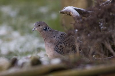 Oriental turtle dove bird graphics