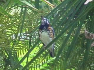 Pale thrush bird graphics